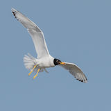 Pallas's Gull (1)