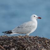 Audouin's Gull (1)