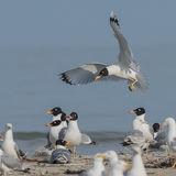 Pallas's Gull (3)