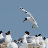 Pallas's Gull (4)