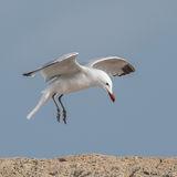 Audouin's Gull (4)