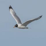 Pallas's Gull (5)