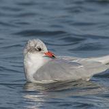 Mediterranean Gull (1)