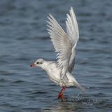 Mediterranean Gull (4)
