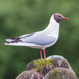 Black-headed Gull (1)
