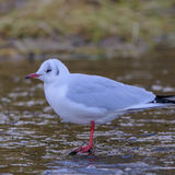 Black-headed Gull (2)