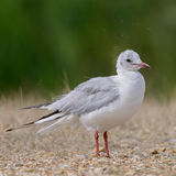 Black-headed Gull (3)
