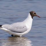 Black-headed Gull (4)