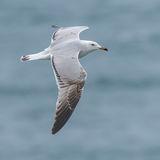 Audouin's Gull (5)