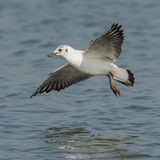 Black-headed Gull (5)