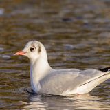 Black-headed Gull (6)