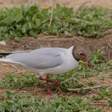 Black-headed Gull (7)