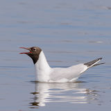Black-headed Gull (8)