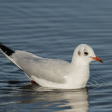 Black-headed Gull (9)