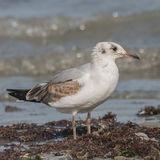 Grey-headed Gull (1)