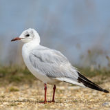 Black-headed Gull (10)