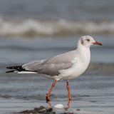 Grey-headed Gull (2)