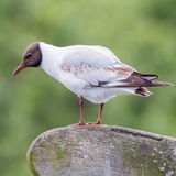 Black-headed Gull (11)