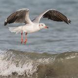 Grey-headed Gull (3)