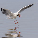 Black-headed Gull (12)