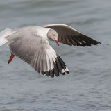 Grey-headed Gull (4)