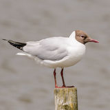 Black-headed Gull (13)