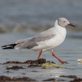Grey-headed Gull (5)