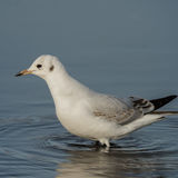 Black-headed Gull (14)