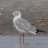 Grey-headed Gull (6)