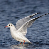 Black-headed Gull (15)