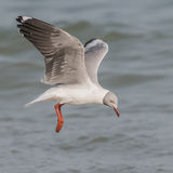 Grey-headed Gull (7)
