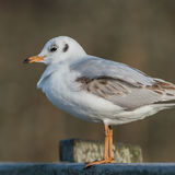 Black-headed Gull (16)