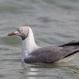 Grey-headed Gull (8)