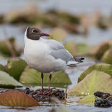 Black-headed Gull (17)