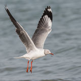 Grey-headed Gull (9)