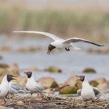 Black-headed Gull (18)