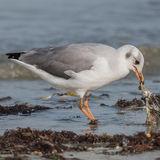 Grey-headed Gull (10)