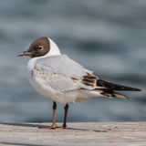 Black-headed Gull (19)