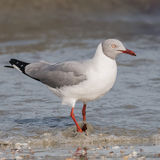 Grey-headed Gull (11)