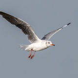 Grey-headed Gull (12)