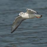 Bonaparte's Gull (1)