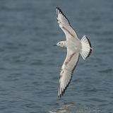 Bonaparte's Gull (3)