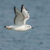 Bonaparte's Gull (4)
