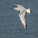 Bonaparte's Gull (7)