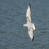 Bonaparte's Gull (8)