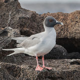 Swallow-tailed Gull (1)