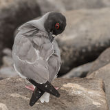 Swallow-tailed Gull (2)