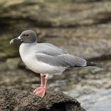 Swallow-tailed Gull (3)