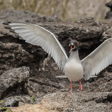 Swallow-tailed Gull (4)