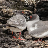 Swallow-tailed Gull (5)